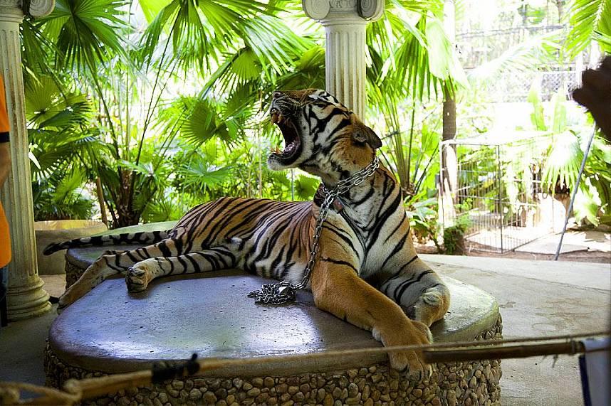 Asian tiger at Phuket Zoo