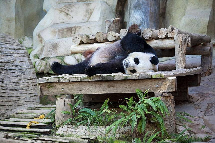 Admire the famous Pandas at the zoo in Chiang Mai