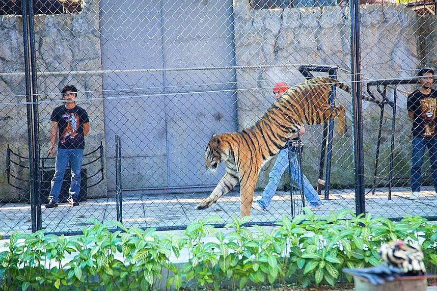 Have a great family day during your Thailand beach holiday at Samui Aquarium and Tiger Zoo