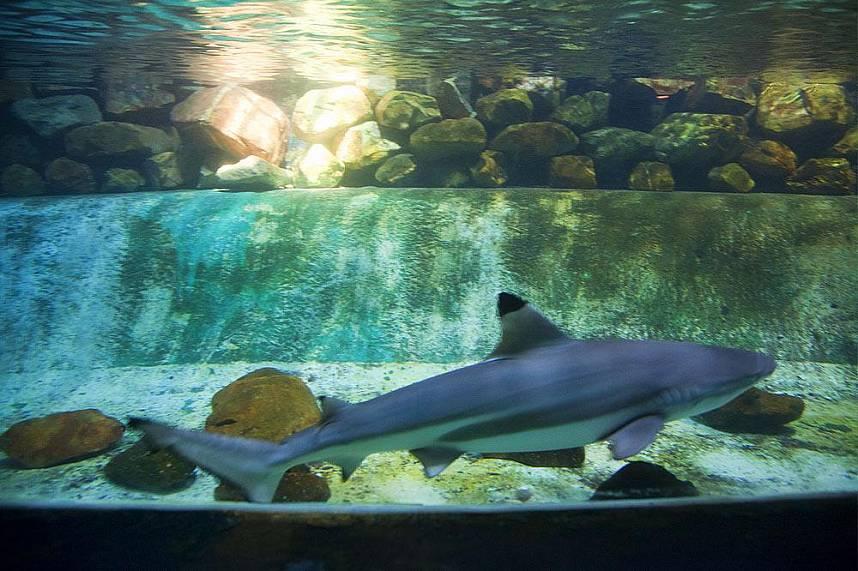 a black tip shark at Samui Aquarium and Tiger Zoo