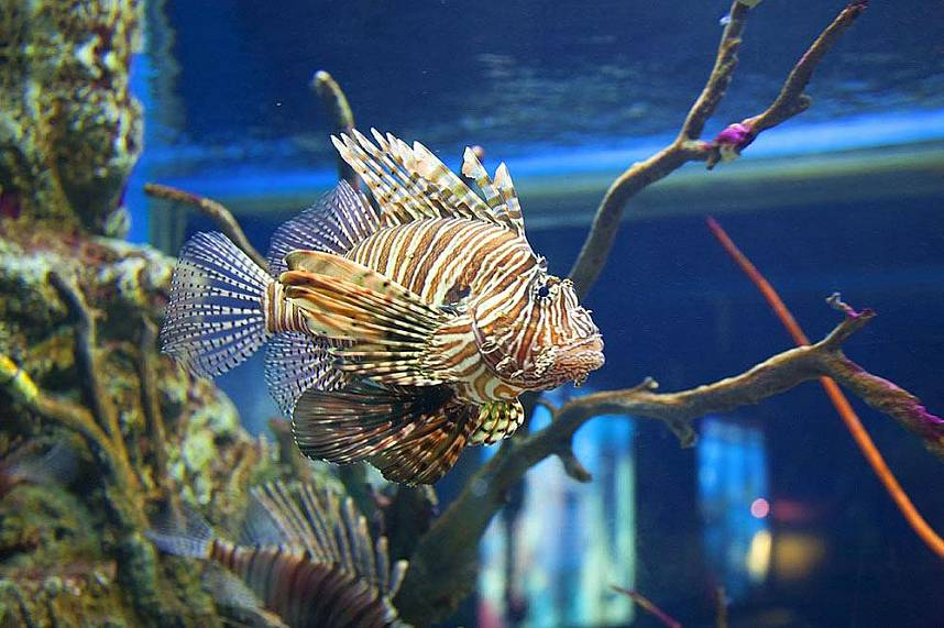 A lion fish at Bang Saen Aquarium Near Pattaya