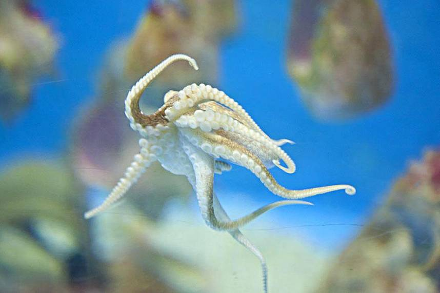 Dance of the octopus at Bang Saen Aquarium Near Pattaya