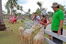 Pattaya Sheep Farm in Banglamung