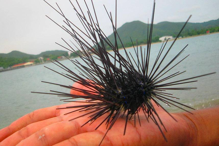 A sea urchin is showed to tourists during a trip with the Pattaya Serenity Catamaran