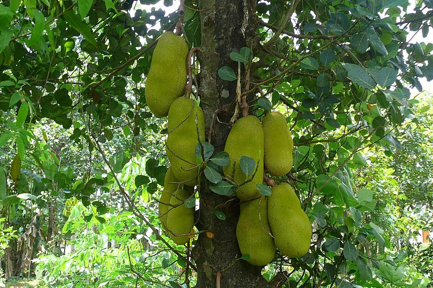 Thailands biggest fruit is Jackfruit with sweet yellow pieces inside