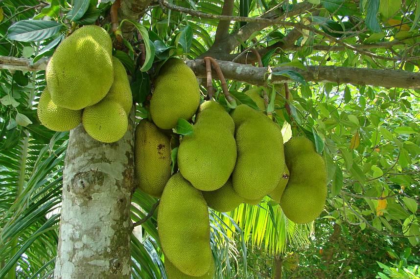 Thailands biggest fruit is the sweet Jackfruit