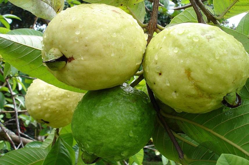 Guava are best to eat when a bit yellow