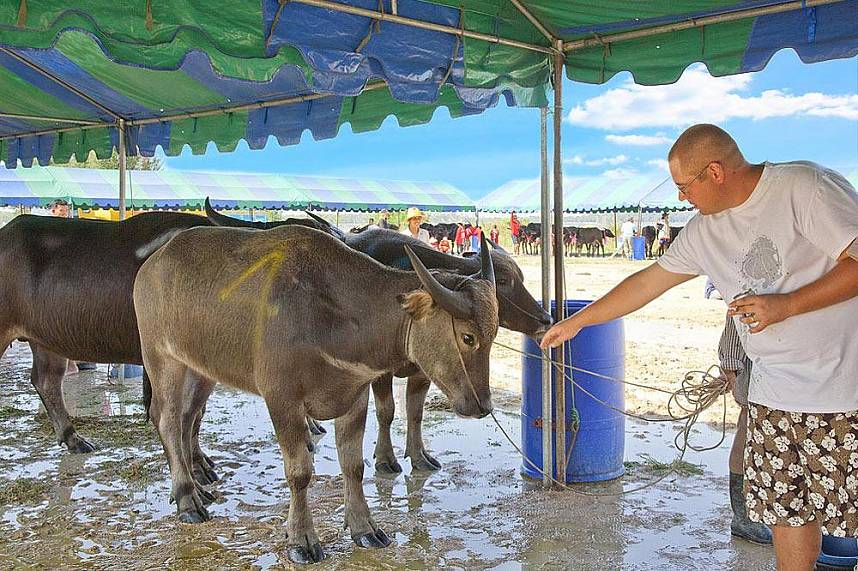 Tourist interact with a buffalo at Chonburi Annual Buffalo Race Festival