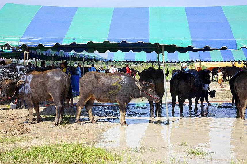 The stars at the delightful family attraction of  Chonburi Annual Buffalo Race Festival