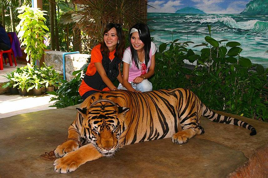 Interaction with tigers at Nong Nooch Gardens Pattaya