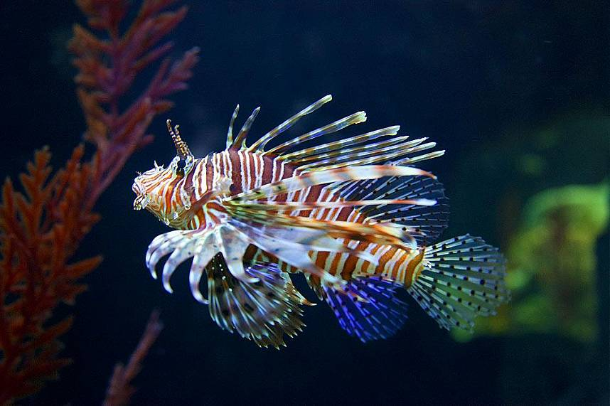 Gracious lion fish at Underwater World Pattaya