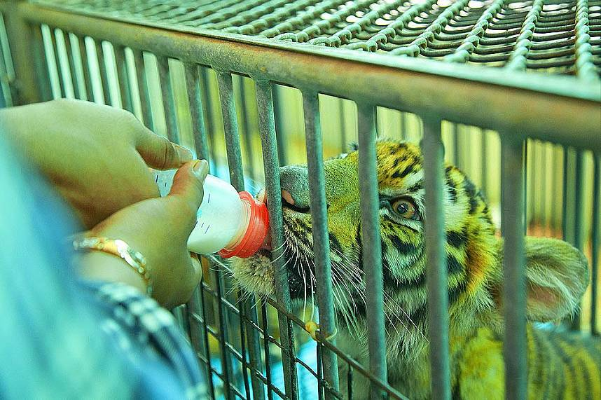 Feed young tigers with milk at Sriracha Tiger Zoo Pattaya