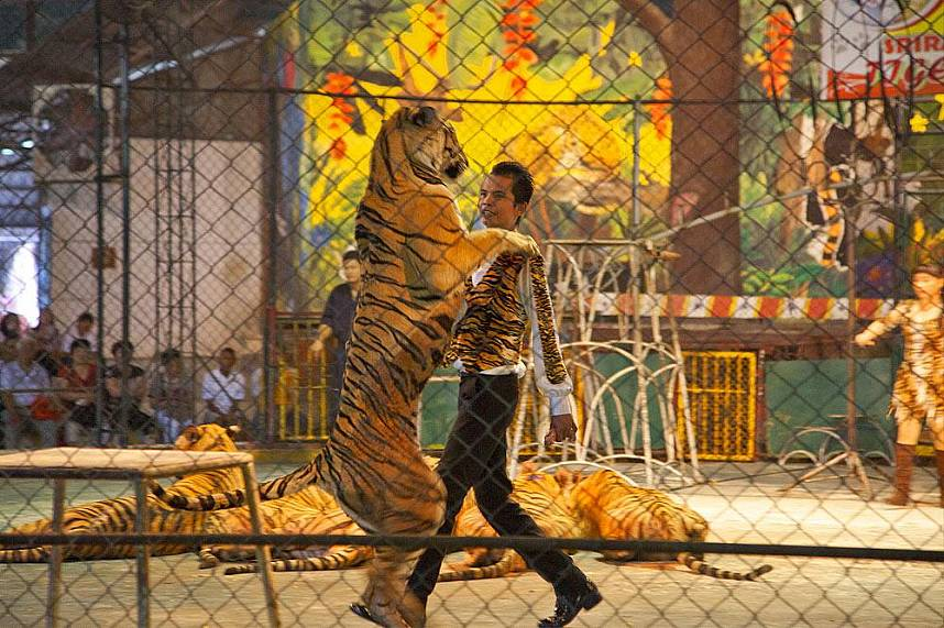 Tiger show at Sriracha Tiger Zoo Pattaya