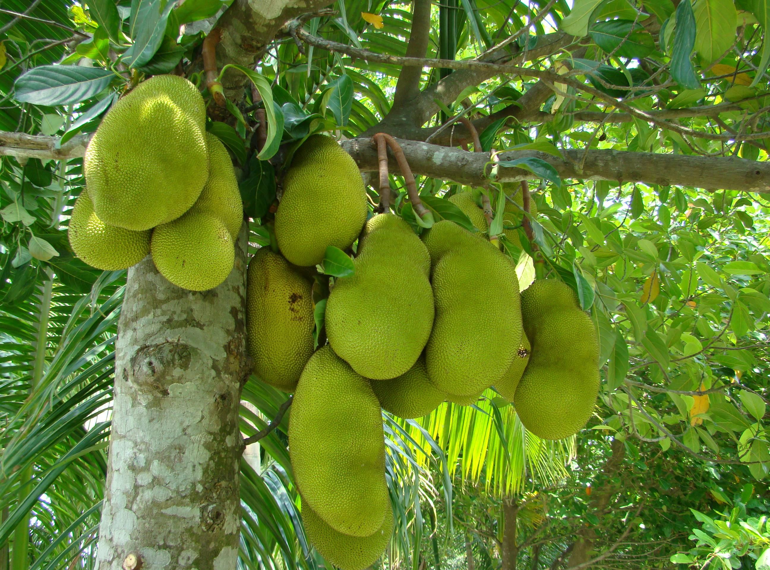 Jackfruit Juicy Fruit