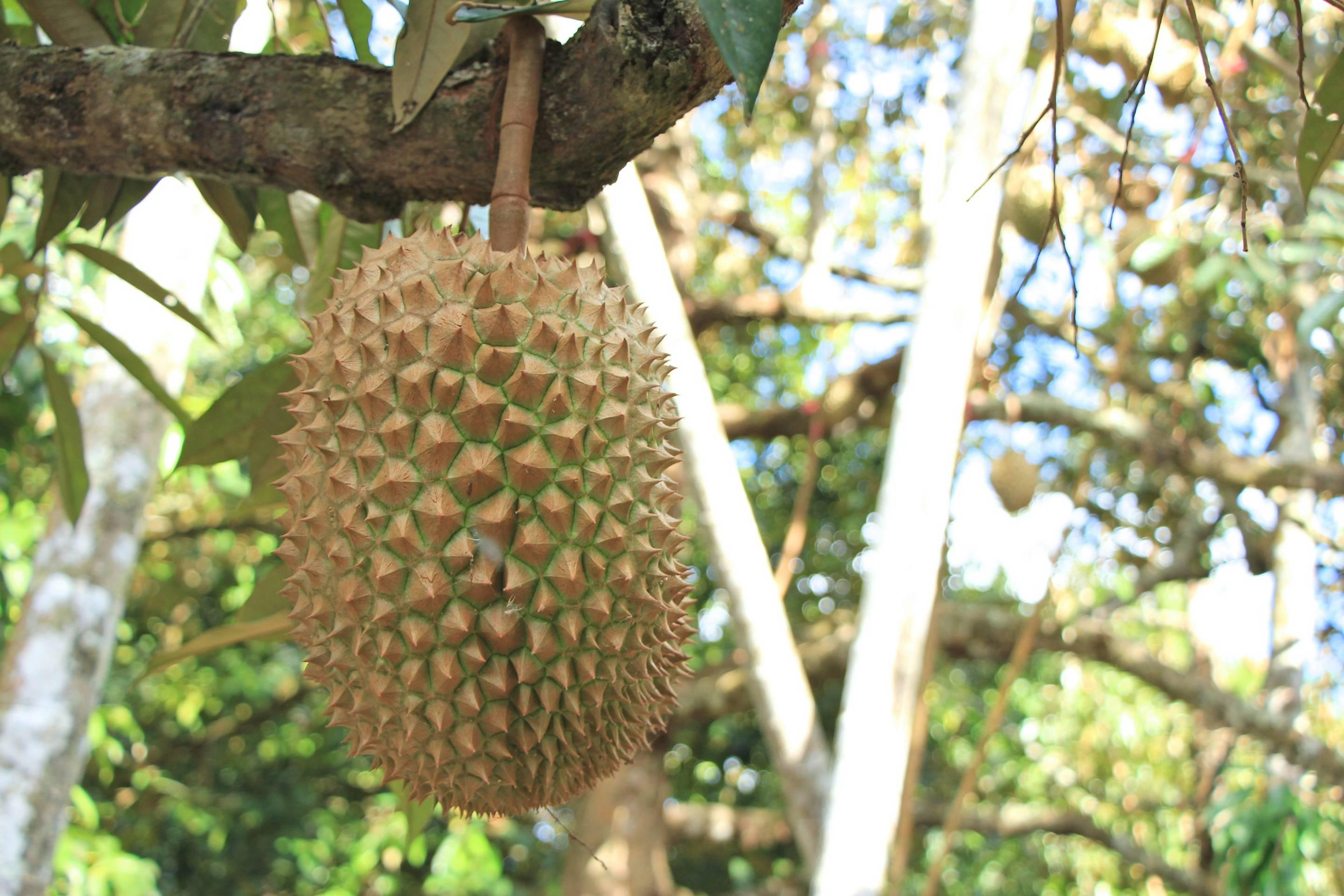 Smelly Durian King of Thai Fruit